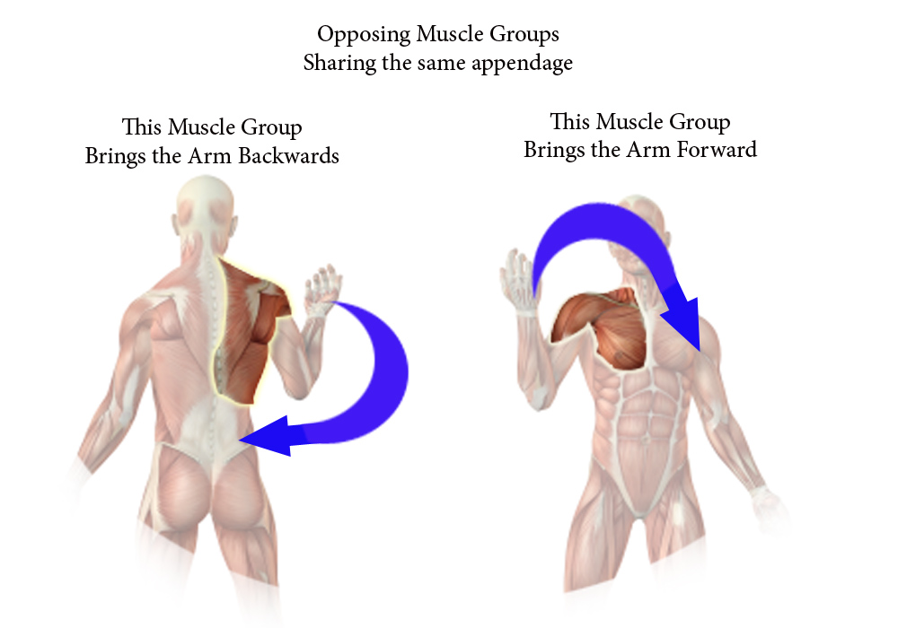 Opposing Muscle Group 97