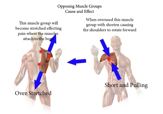 opposing muscle group2 copy